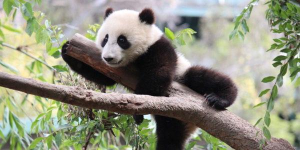 Coming soon: Warum pinkeln Pandas im Handstand?